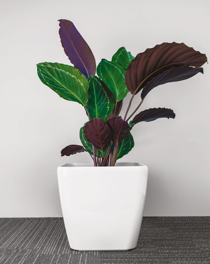 Calathea Roseopicta ideal for living walls