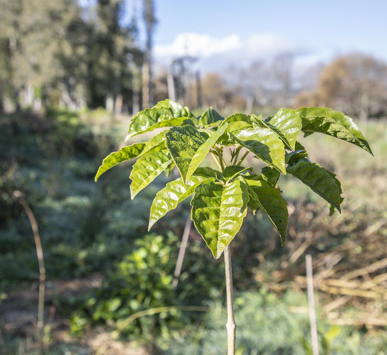 Pururi tree