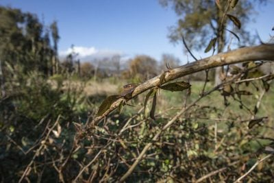 Thorny bramble bushes are to be removed