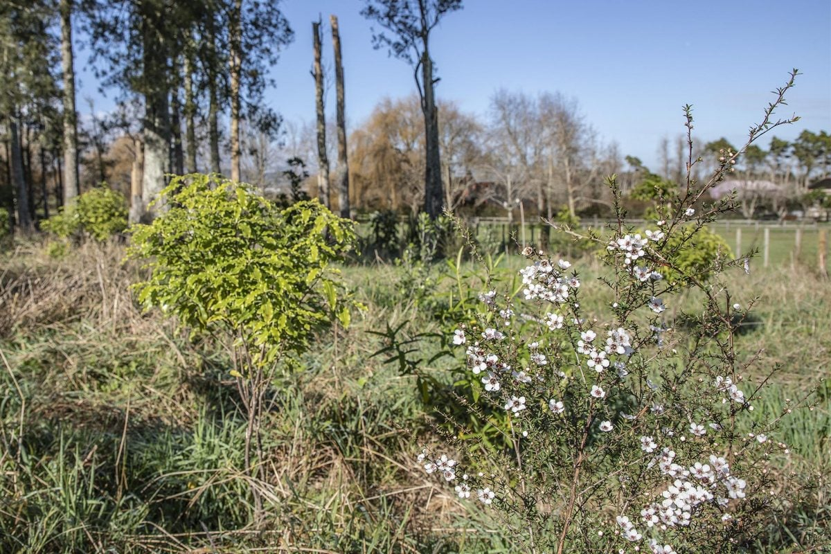 Fast-growing manuka will provide shelter for other plants