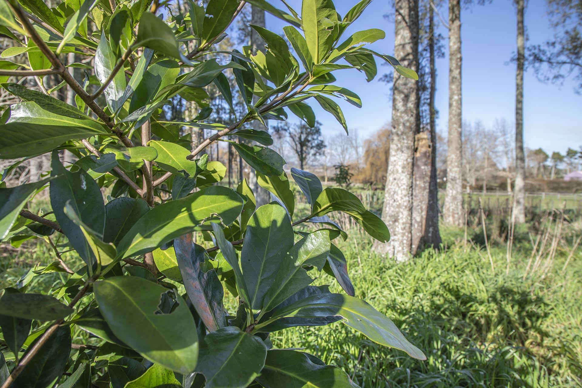 Karaka tree