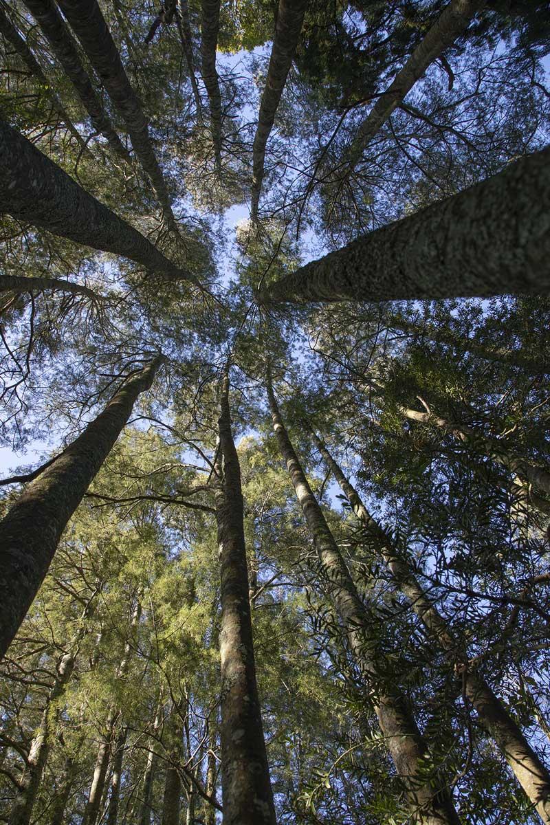 Tall kahikatea trees dominate the existing bush blocks